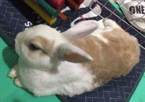 兔寶的腳底毛不見的原因竟是