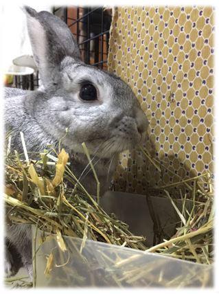 寵物兔的主食-牧草種類有哪些